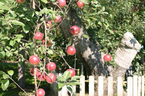 つがる市観光物産協会-日本最古のりんごの木